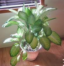 dumb cane highly toxic house plant indoor jungle house plants