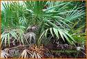 Saw palmetto grows on a wide