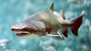 Los 14 tipos de Tiburones!