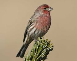 Pictures Of A House House Finch Audubon Field Guide