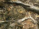 Eastern Diamondback Rattlesnake | Sensational Serpents sensationalserpents.com