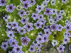 Love In The Mist / <b>Nigella</b>