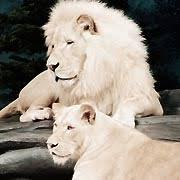 el leon blanco