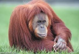 القرود انواعها  ونبذه عنها والصور Images?q=tbn:ANd9GcQdJS2NrF_R31l1kZSLtlm3PCR1CwD6HUcK9lV-6kTcbrpEznAPww