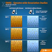 genome wide association studies fact sheet national human genome