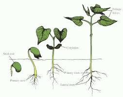 Bitkiler Nasıl Büyür