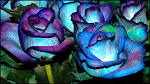 Blue roses Wallpapers, Blue roses Backgrounds, Blue roses Free HD ...