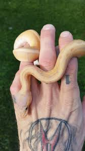 133 best snakes images on pinterest beautiful snakes snakes and
