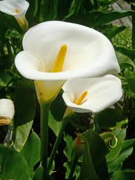 Arum-lily