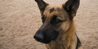 belgian shepherd uk breeders german shepherds are dying of painful conditions caused by