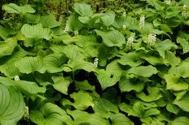 false lily of the valley u2022 maianthemum dilatatum biodiversity of