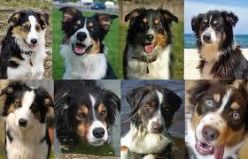 australian shepherd qualities uncanny minor differences