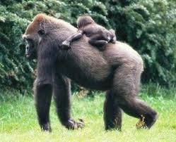القرود انواعها  ونبذه عنها والصور Images?q=tbn:ANd9GcQg-HVsRzfQxXw3qo6OrLGJy1Xq6gqStZNZdzR3kTxN_TmcWENz