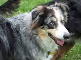 3 australian shepherd mix puppies for adoption new spirit 4 aussie rescue