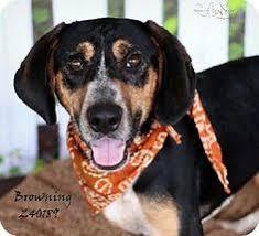 bluetick coonhound oregon tulsa ok bluetick coonhound meet ranger a dog for adoption