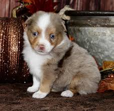 australian shepherd x pomeranian for sale home color country aussies