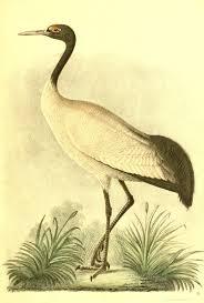 black necked cranes in bhutan wikipedia