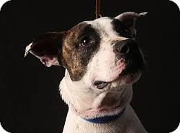 american pitbull terrier for sale in dallas texas chance adopted puppy 624 dallas tx american staffordshire