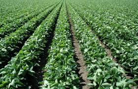 Cultivo de la soja