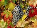 Harvest Time La Rioja
