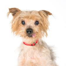 australian shepherd yorkshire terrier mix adoptable dogs underdog rescue