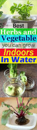 9 best herbs and vegetable you can grow indoors in water balcony