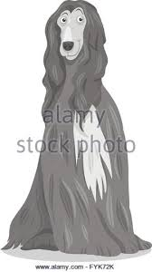 afghan hound long haired dogs afghan hound hair stock photos u0026 afghan hound hair stock images