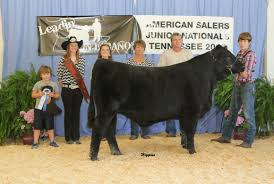 reserve champion market steer kmc hous by american salers association