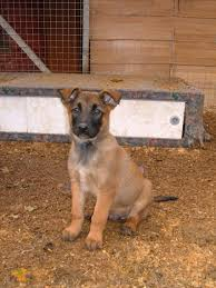 belgian shepherd uk breeders puppy cute puppy sale