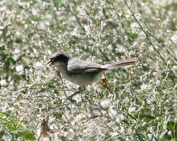Black-capped warbling finch