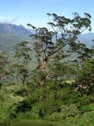 Eucalyptus urophylla