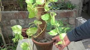 how to make money with climbing plants maintenance tips youtube