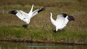 rare whooping cranes a texas coast treasure houston chronicle