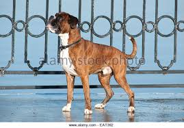 boxer dog uk boxer dog stock photos u0026 boxer dog stock images page 2 alamy