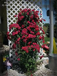 training roses on structures u2013 how to train a climbing rose bush