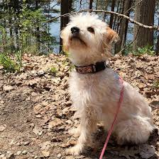 affenpinscher brown yorkipoo dog breed information pictures characteristics u0026 facts