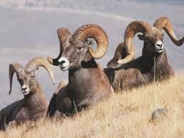 Bighorn Sheep Advocacy