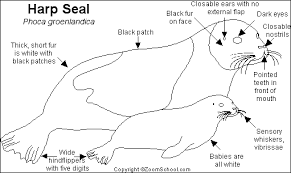 harp coloring page seal 55 animals u2013 printable coloring pages