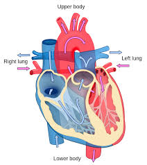 cardiology wikipedia