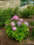 Q&A: Why didn't my Endless Summer Hydrangea bloom? : Over the ...