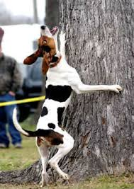 training a bluetick coonhound to hunt coon hound training tips