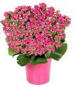 Pink <b>Kalanchoe</b> Plant