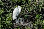 Great-Egret-Ardea-alba-with-chicks-The-Rookery-Venice-13-010303.vv ... - Downloadable