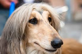 afghan hound long haired dogs afghan hounds