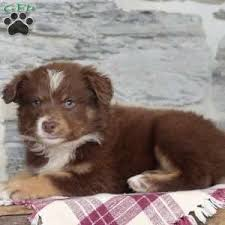 australian shepherd yorkshire terrier mix border collie mix puppies for sale greenfield puppies