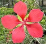 Image result for Hibiscus coccineus