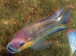 سمكة الكهوف العمياء الإماراتية