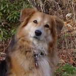 German Shepherd Collie Mix | Mix Breed Dog Photos - All Mutt