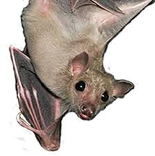 Bat rescue, bat rehabilitation