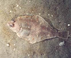Paralichthyidae
